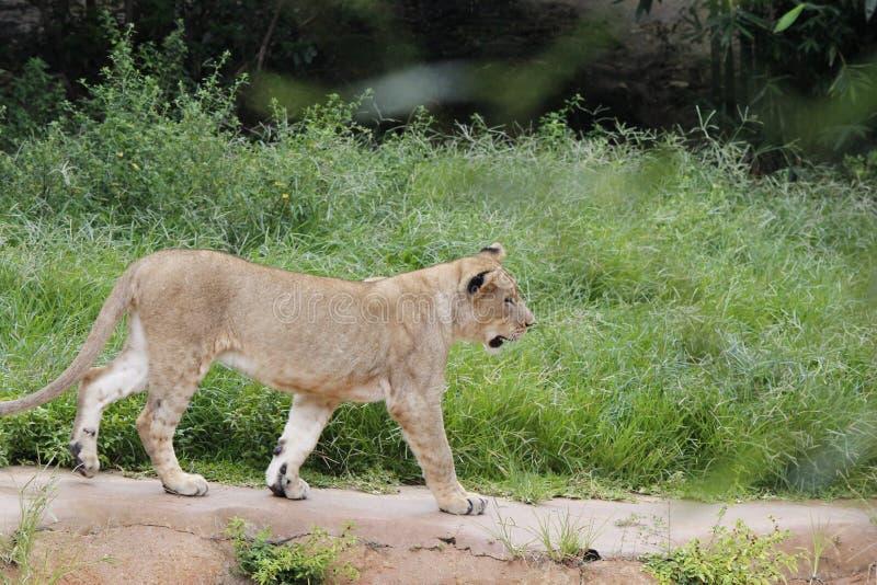Marche de lionne image libre de droits