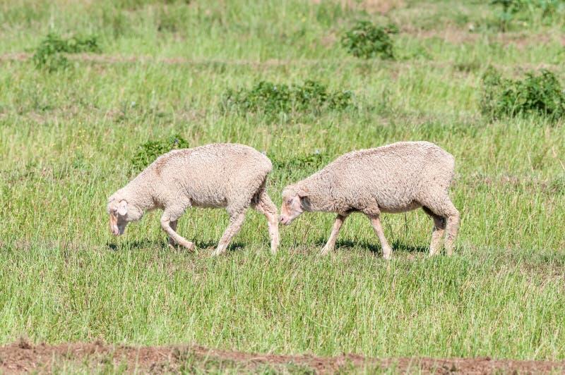 Marche de moutons de Merino image libre de droits