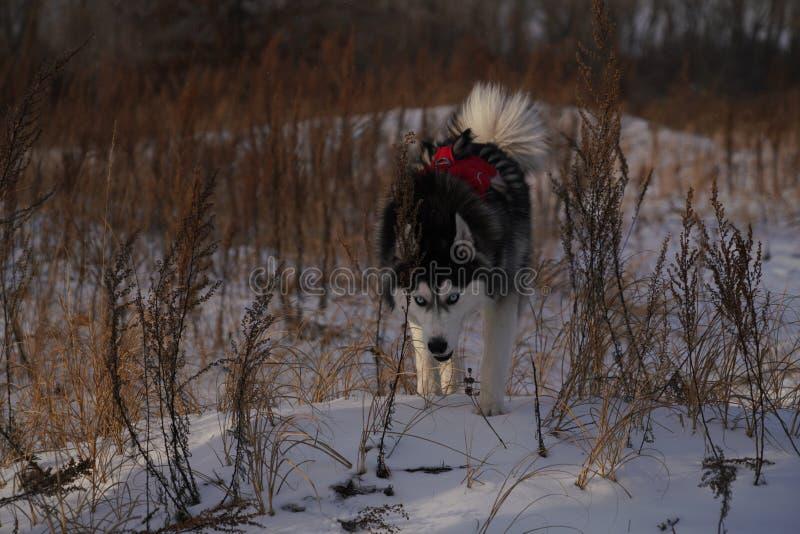 Marche enrouée dans la neige avec la tête vers le bas photographie stock libre de droits