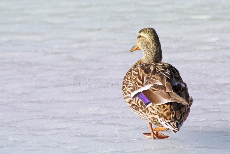 Marche femelle de canard de Mallard le long de l'étang congelé en hiver photographie stock libre de droits