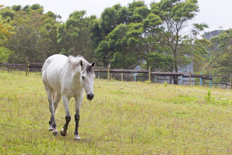 Marche grise de cheval image stock