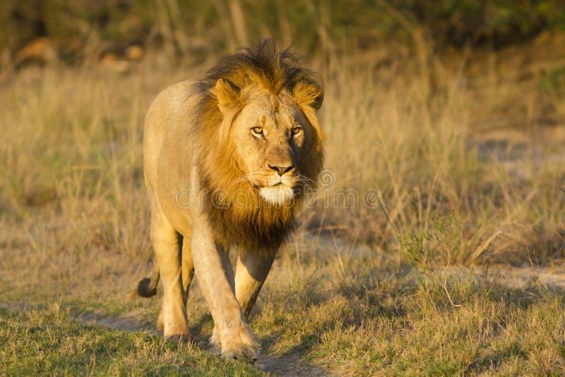 Marche mâle de lion dans la route image stock