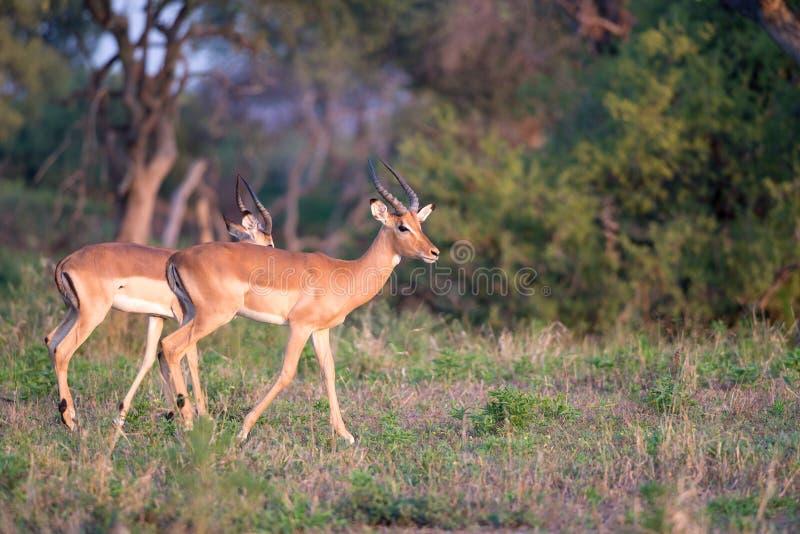 Marche masculine d'impala images libres de droits