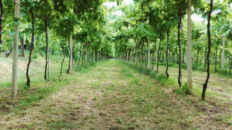 Marche par la vigne photos libres de droits