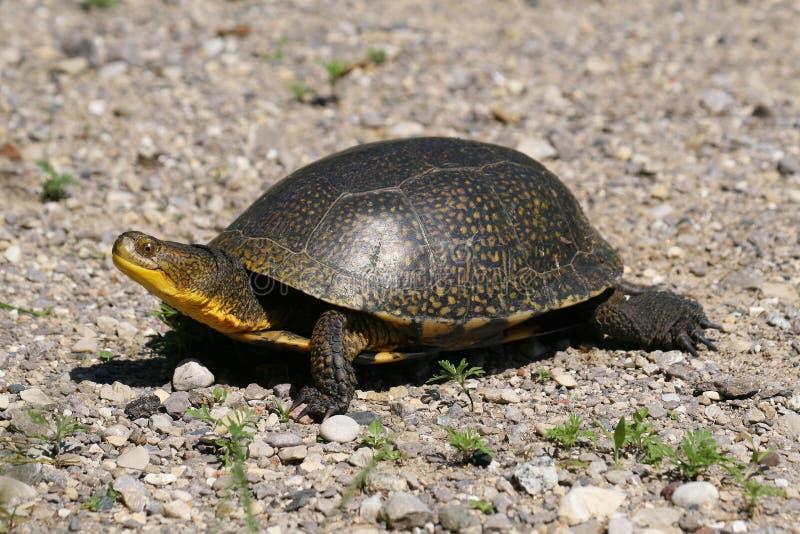 Marche rare de tortue de Blandings photos libres de droits