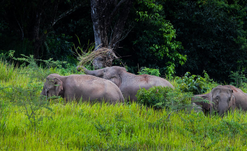 Marche sauvage d'éléphants photo stock