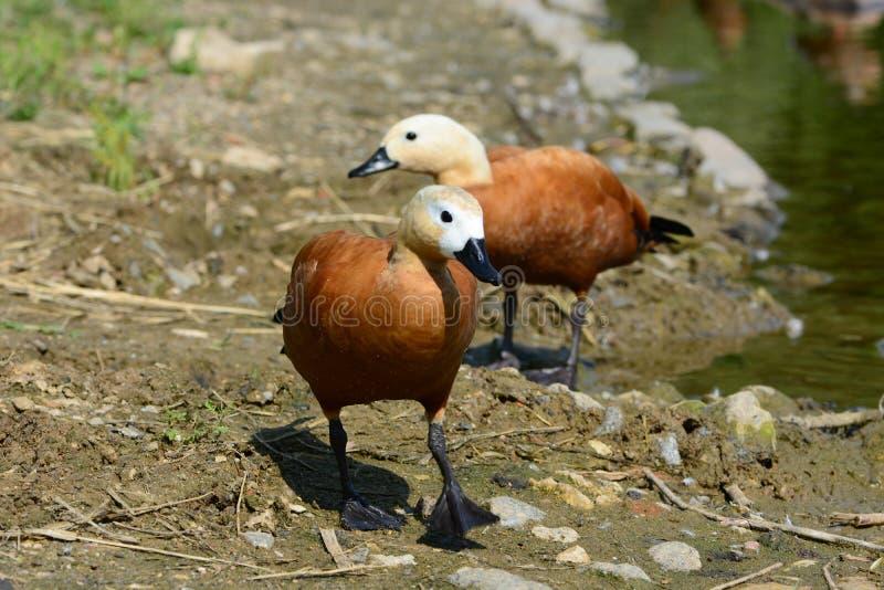 Marche vermeille de deux canards de shel photographie stock libre de droits
