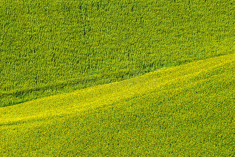 Marches (Italy) - Field of sunflowers. Marches (Italy), near Potenza Picena - Field of sunflowers at summer stock photos