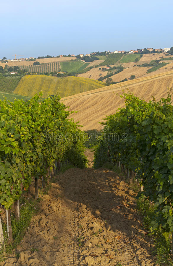 Download Marches (Italy) - Vineyards Stock Photography - Image: 20654662