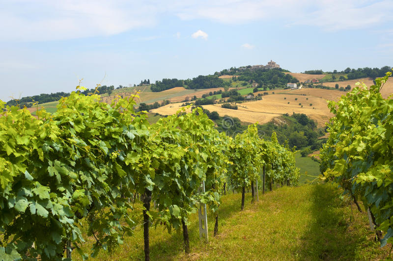 Download Marches (Italy) - Vineyards Stock Photo - Image: 21064100