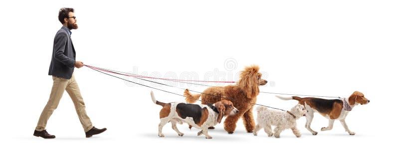 Marcheur masculin de chien marchant quatre chiens différents photographie stock libre de droits