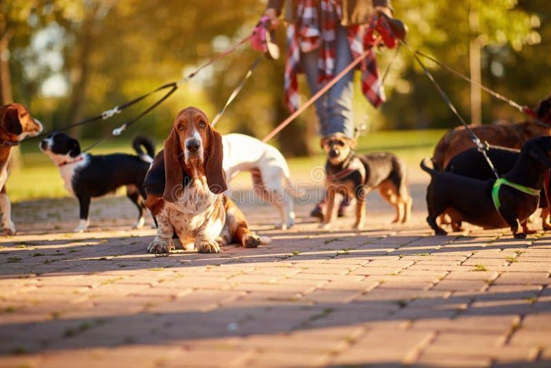 Marcheur professionnel de chien - Basset Hound appr?ciant dans la promenade photographie stock libre de droits