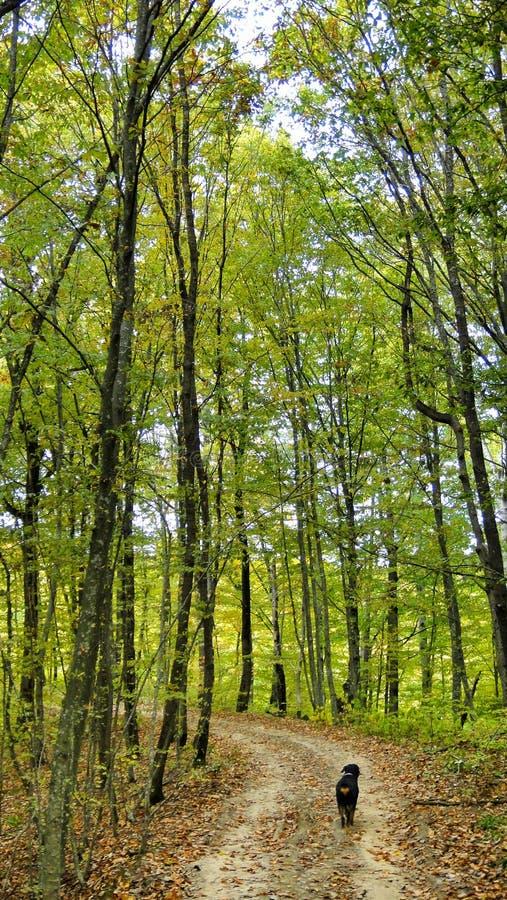 Marcheurs de rottweiler de chien dans la forêt d'automne photo stock