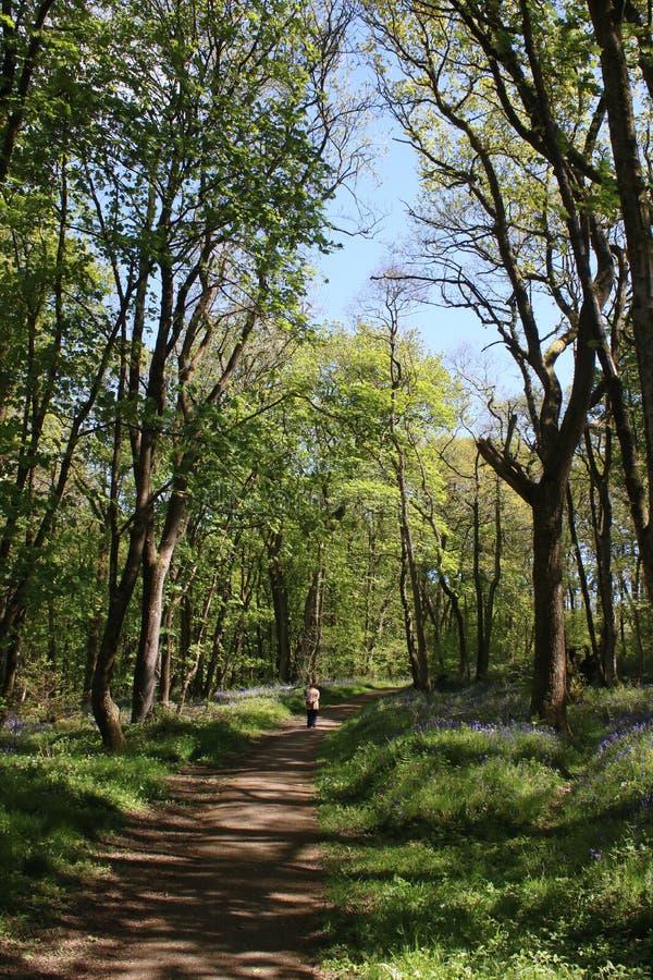 Marcheuse éloignée de dame sur le sentier piéton en bois de jacinthe des bois images stock