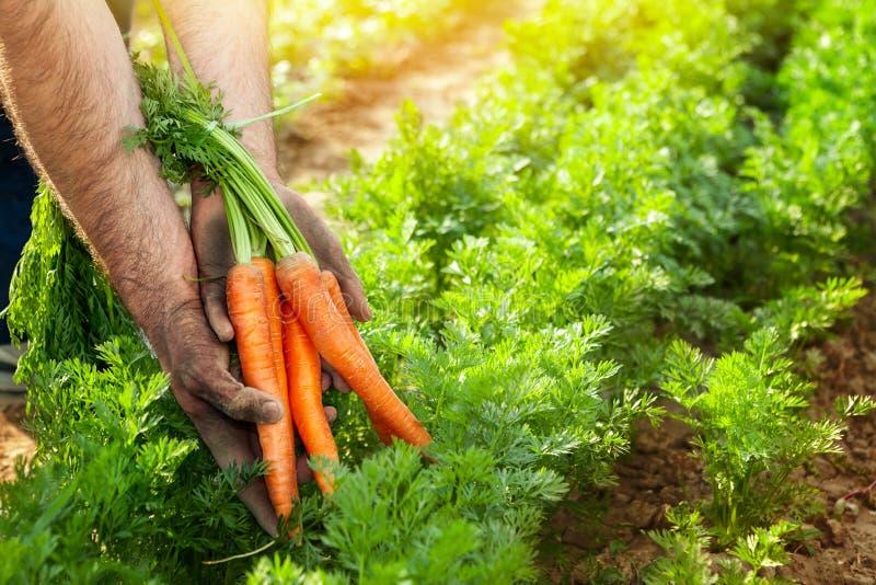Marchewki w ogrodniczek rękach Marchwiany zrywanie zdjęcia stock