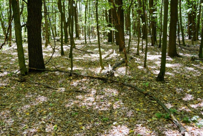 Marchez dans la forêt dans le sunner parmi les arbres verts photos libres de droits