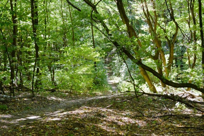 Marchez dans la forêt dans le sunner parmi les arbres verts image libre de droits