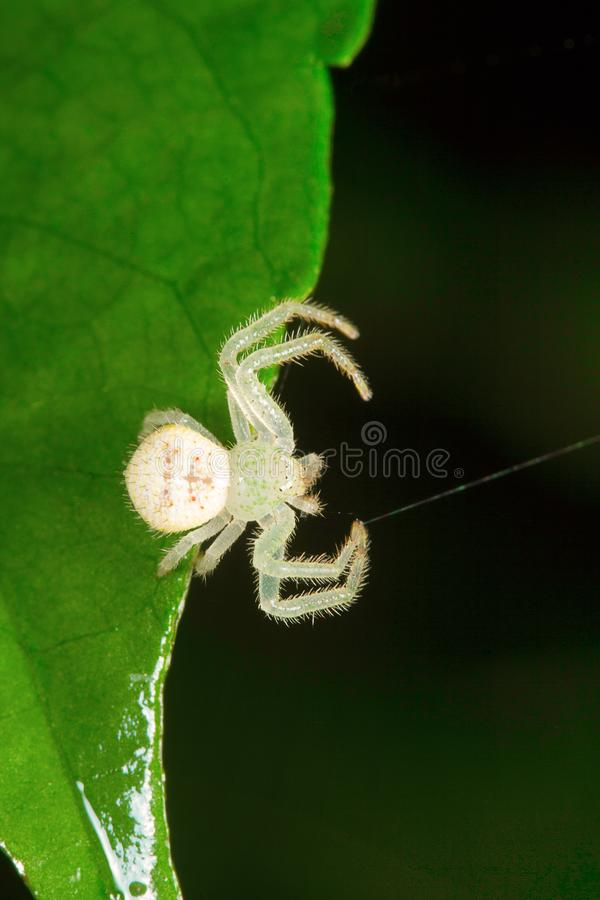 Marchez en crabe l'araignée, Thomisidae, colonie de lait d'Aarey, INDE photo stock