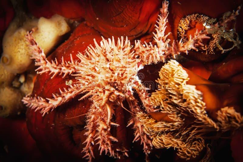 Marchez en crabe (Paralithodus Rathbuni) l'opilio de Chionoecetes) De dessous réel images stock