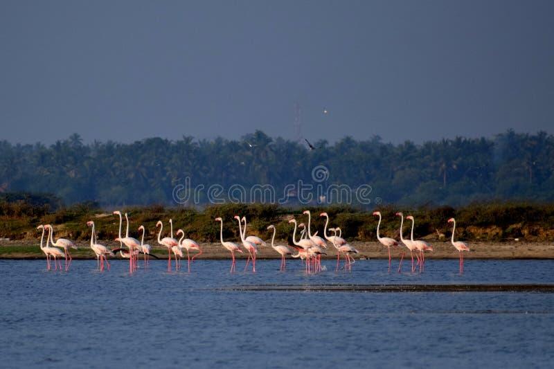 Marching flamingos stock photo