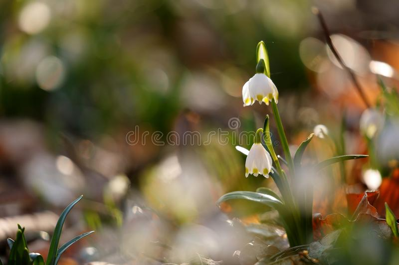 Marching flower with blossom in spring royalty free stock photography