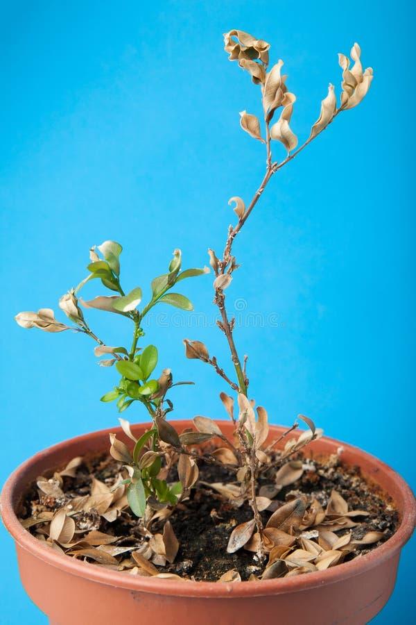 Marchitado y secado plante en el pote imagenes de archivo