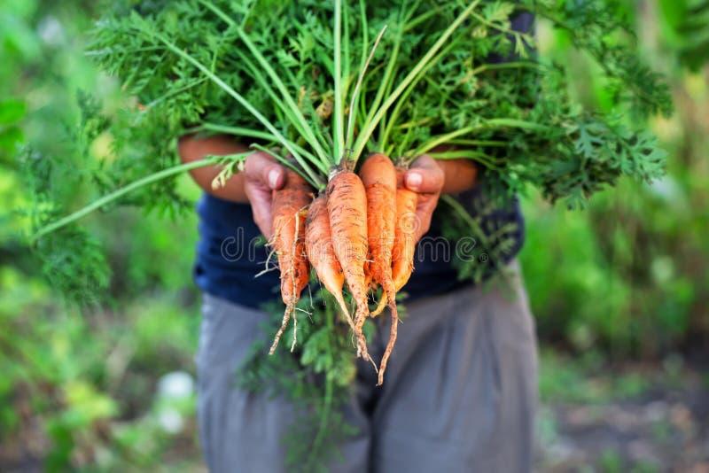 Marchwiany żniwo w rękach kobieta rolnik zdjęcie royalty free