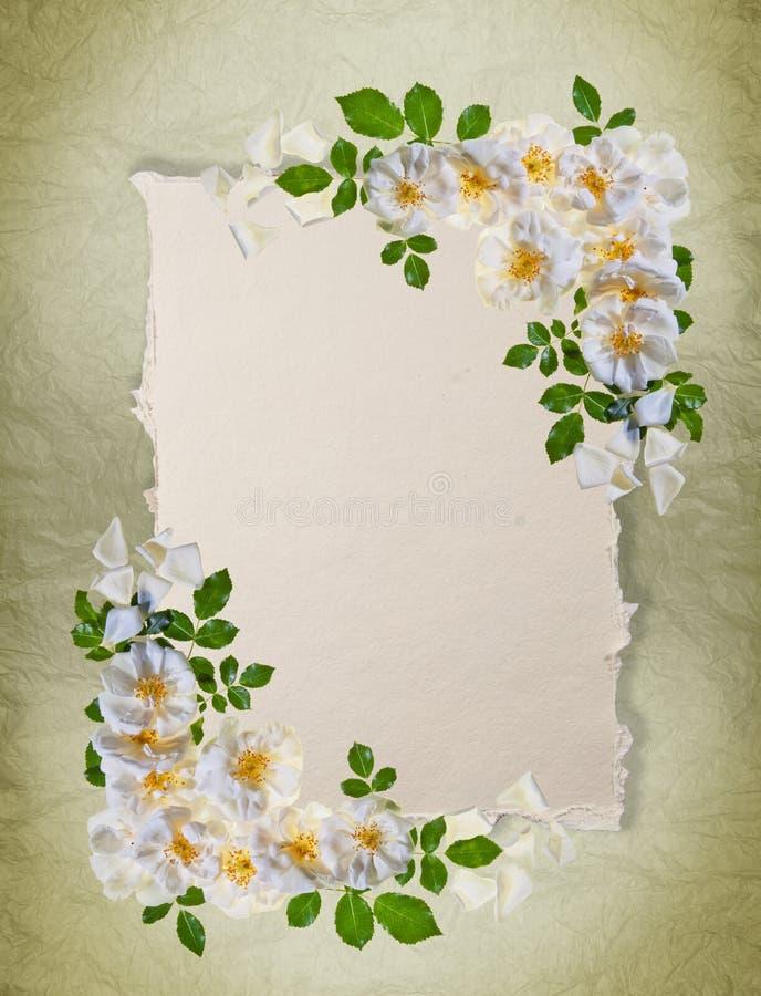 Marco blanco de las rosas imagen de archivo