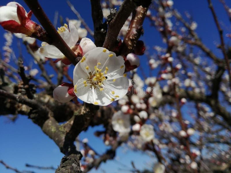 Marco de fleurs de cerisier de Spiring images stock