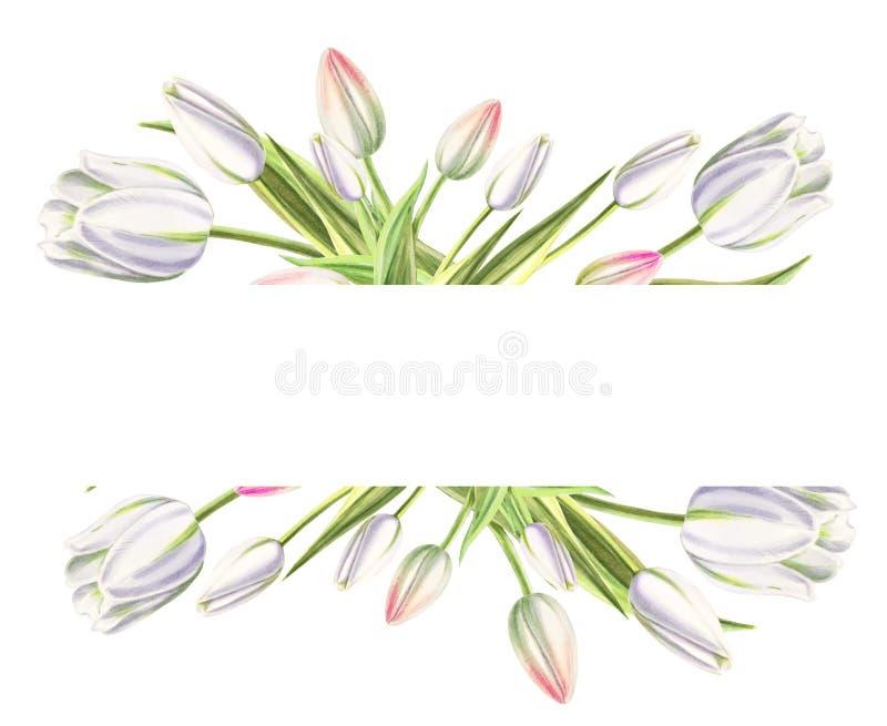 Marco de texto de tulipanes blancos hermosos Dibujo del marcador Pintura de la acuarela Copie el espacio imágenes de archivo libres de regalías