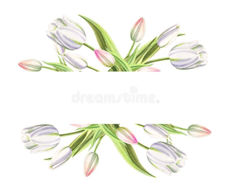 Marco de texto de tulipanes blancos hermosos Dibujo del marcador Pintura de la acuarela Copie el espacio foto de archivo libre de regalías