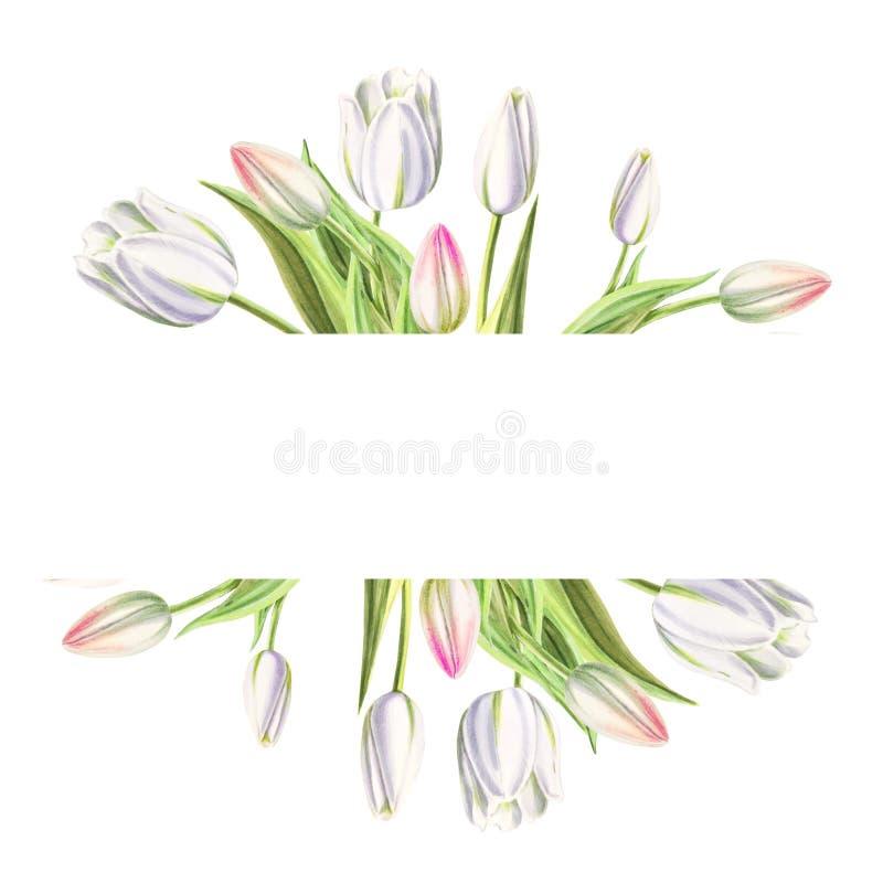 Marco de texto de tulipanes blancos hermosos Dibujo del marcador Pintura de la acuarela Copie el espacio fotos de archivo libres de regalías