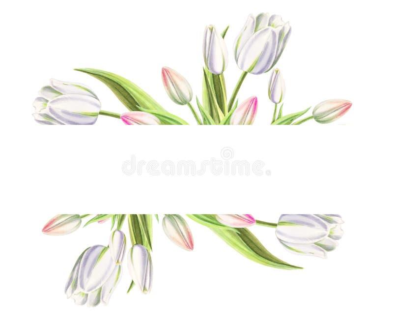 Marco de texto de tulipanes blancos hermosos Dibujo del marcador Pintura de la acuarela Copie el espacio imagen de archivo libre de regalías