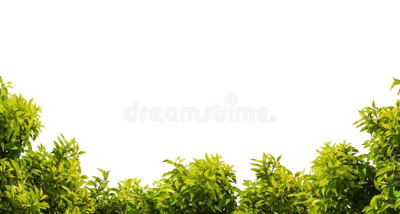 Marco del ?rbol Hoja verde y ramas aisladas en el fondo blanco imagen de archivo libre de regalías