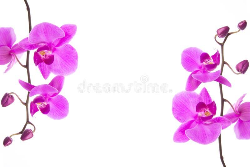 Marco púrpura hermoso de las flores de la orquídea del Phalaenopsis, aislado en el fondo blanco imágenes de archivo libres de regalías