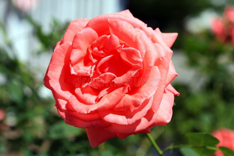 Marco Photo di un giardino rosa del cespuglio di rose in giardino fotografia stock