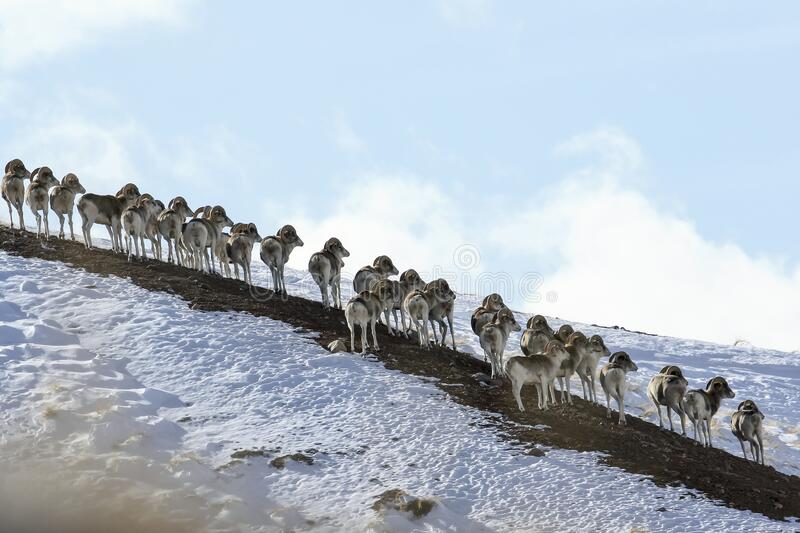 Marco Polo`s argali on a snow-covered mountainside looks one way. Flock of sheep Marco Polo on vacation. Marco Polo on the hillside. Tien Shan, Kyrgyzstan stock photos