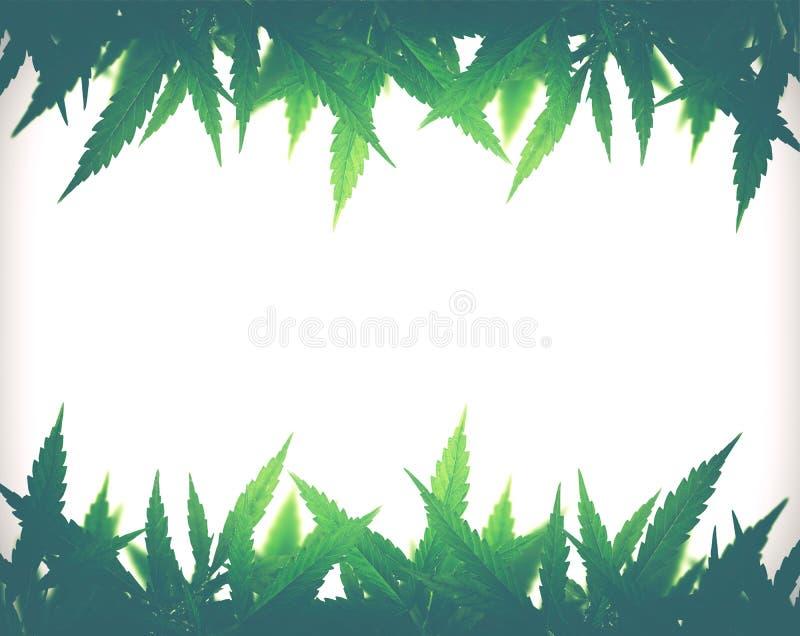 Marco sativa de la hoja del cáñamo verde claro imagenes de archivo