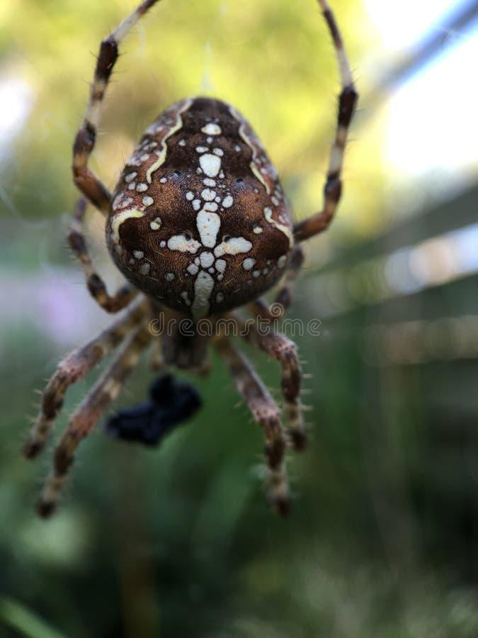 Marco shot from a European garden spider stock photos
