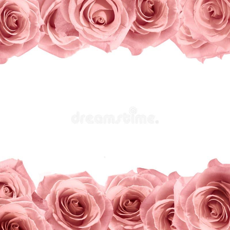 Marco suave fresco de la rosa del rosa en el fondo blanco Fondo de la boda foto de archivo