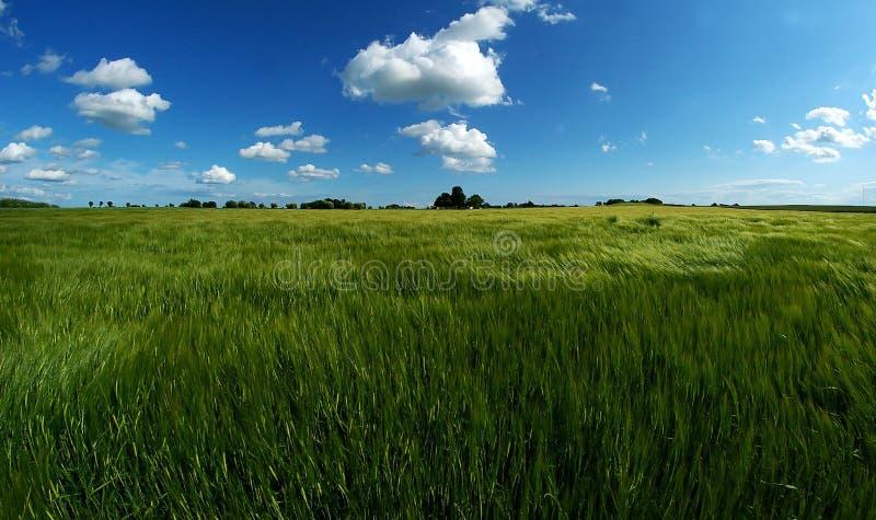 Marco verde do trigo fotos de stock