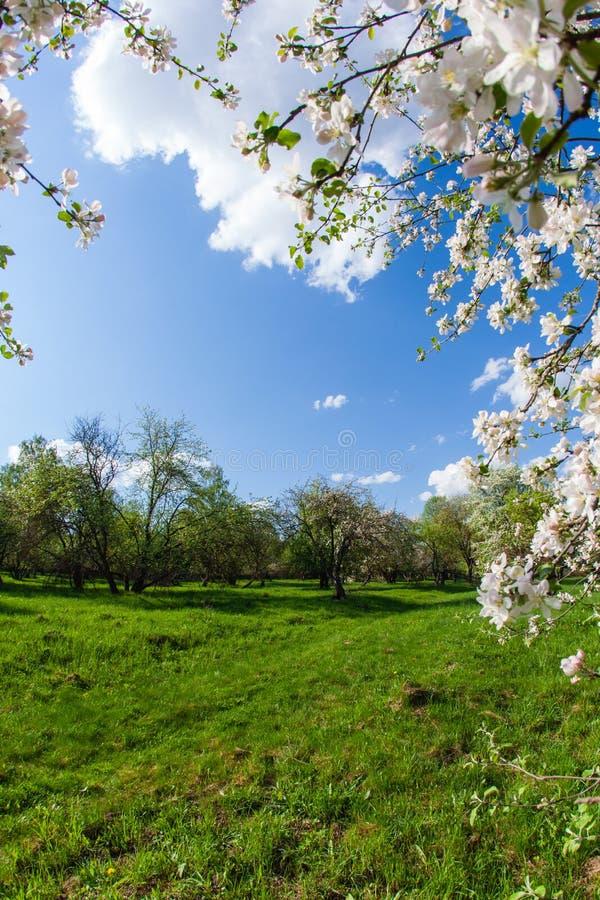 Marco vertical de las ramas de la manzana floreciente y del cielo azul imágenes de archivo libres de regalías