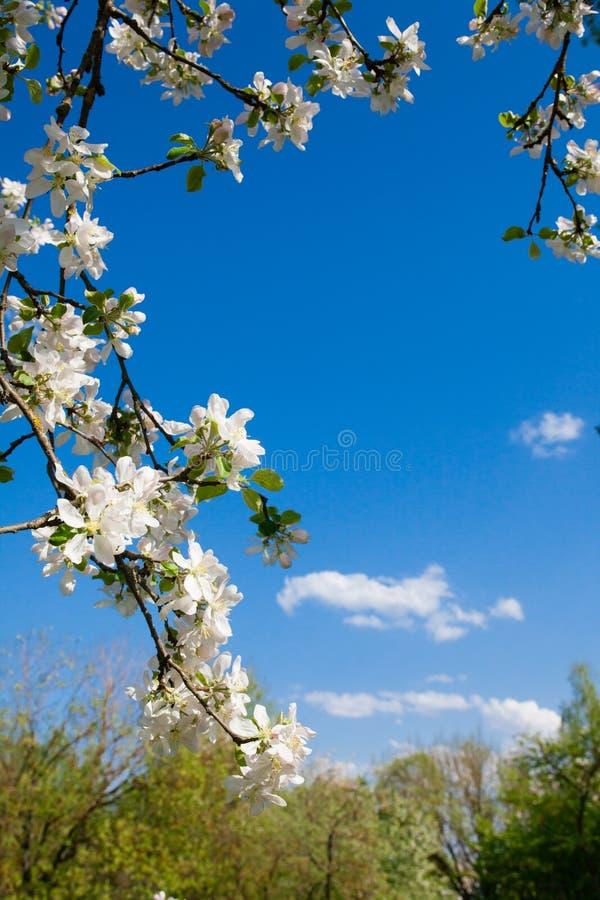 Marco vertical de las ramas de la manzana floreciente y del cielo azul foto de archivo