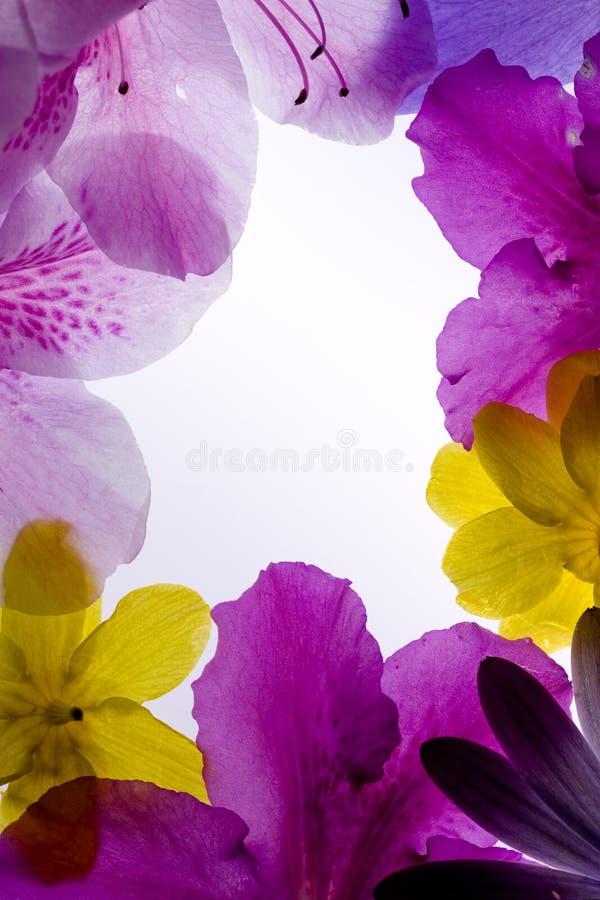 Marco violeta de la flor imagen de archivo. Imagen de