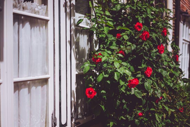 Marcos de ventana blancos con los arbustos color de rosa rojos Flores calientes de la luz del sol y del verano imagen de archivo libre de regalías