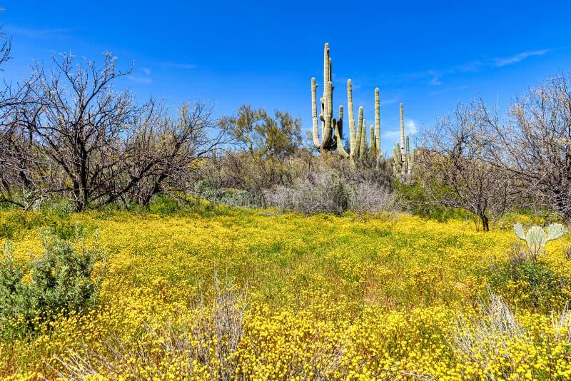 Marcowy obłąkanie w pustyni z śmiałymi, jaskrawymi wildflowers kwitnie póżniej nad średni zimy opady deszczu, zdjęcie royalty free