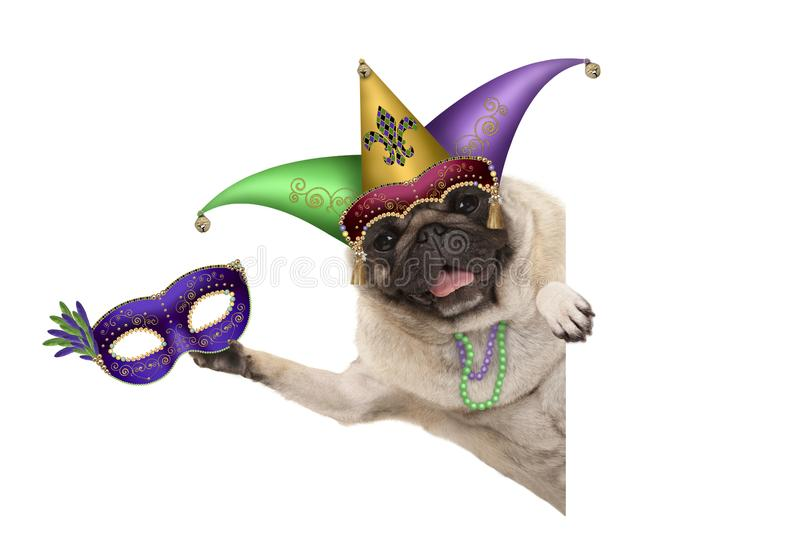 Mardi gras pug dog with carnival jester hat, venetian mask, harlequin jester hat and beads necklaces. Isolated on white background stock photo
