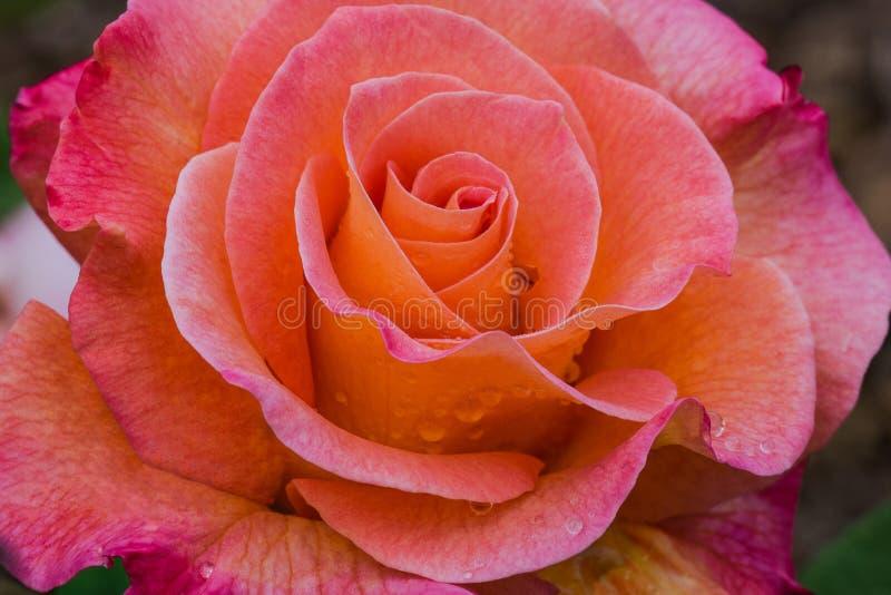 Mardi Gras Rose stockfotografie