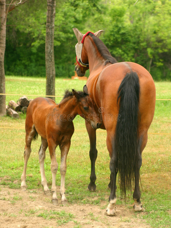 Download Mare and Colt 2 stock image. Image of farm, young, birth - 188803
