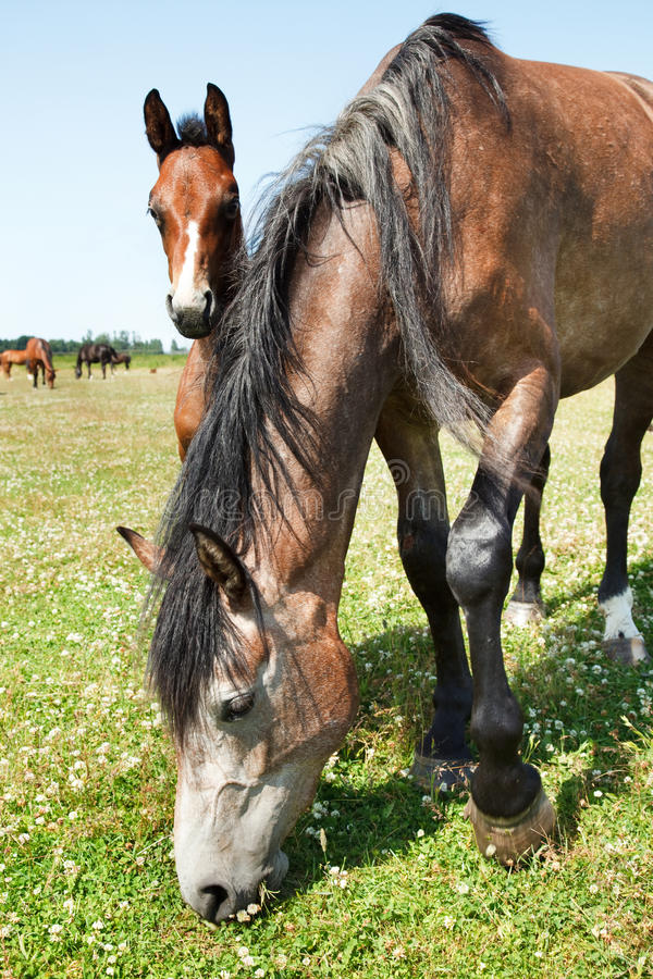 Download Mare and colt grazing stock image. Image of black, filly - 10092387